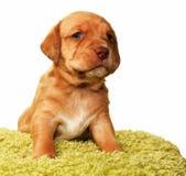 Um cachorrinho velho bonito do mês Fotografia de Stock