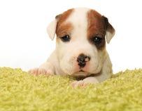 Um cachorrinho velho bonito do mês Imagem de Stock Royalty Free
