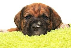 Um cachorrinho velho bonito do mês Fotos de Stock