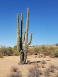 Um cacto do Saguaro Imagem de Stock
