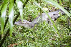 Um caimão relaxa nos bancos das Amazonas do rio fotografia de stock