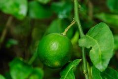 Um cal verde Fotografia de Stock