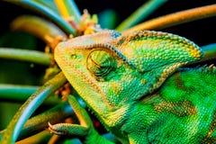 Um camaleão de Yemen Fotografia de Stock Royalty Free