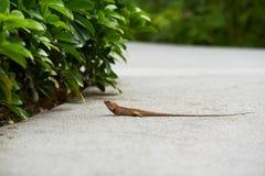 Um camaleão que anda na estrada imagem de stock royalty free