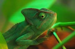 Um camaleão verde fotografia de stock royalty free