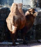 Um camelo bactriano imagem de stock