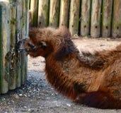 Um camelo bactriano novo imagens de stock royalty free