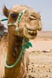 Um camelo em Marrocos Fotografia de Stock Royalty Free