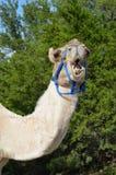 Um camelo mastiga para fora o fotógrafo Imagem de Stock Royalty Free
