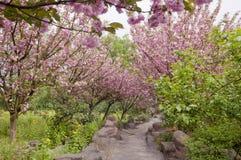 Um caminho através da flor de cerejeira Fotos de Stock Royalty Free