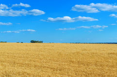 Um campo amarelo largo dos spikelets do trigo e de um céu azul acima dele tempo ensolarado O conceito: paz e prosperidade fotografia de stock