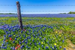 Um campo bonito coberto com Texas Bluebonnets famoso fotografia de stock royalty free