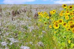 Um campo bonito das flores Imagens de Stock