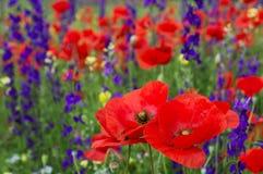 Um campo bonito das papoilas, flores vermelhas na grama verde Close-up Imagens de Stock