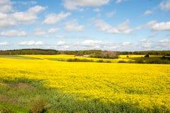 Um campo com colza em um summerday fotografia de stock royalty free