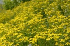 Um campo com flores Fotografia de Stock