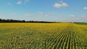 Um campo com o girassol em Rússia filme