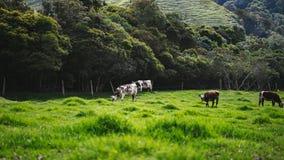 Um campo com vacas Imagem de Stock