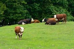 Um campo completamente de vacas de Hereford. Imagem de Stock