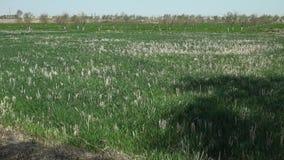 Um campo da cebola em Usbequistão filme