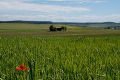 Um campo da cevada com uma única papoila de milho Imagens de Stock Royalty Free
