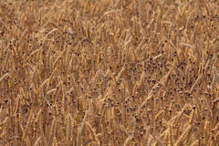 Um campo da cevada e de papoilas douradas Imagens de Stock
