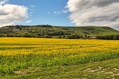 Um campo da colheita da semente de mostarda em East Sussex imagens de stock royalty free