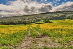 Um campo da colheita da semente de mostarda em East Sussex com uma trilha de exploração agrícola fotografia de stock
