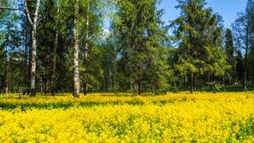 Um campo da colza de florescência no bosque do vidoeiro Flores amarelas junho em St Petersburg fotos de stock royalty free