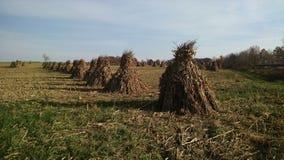Um campo da pilha do milho de Amish, monte de feno, colheita Fotos de Stock Royalty Free