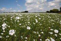 Um campo das flores brancas Foto de Stock
