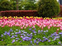 Um campo das tulipas e da anêmona que florescem com fundo das árvores Fotografia de Stock Royalty Free