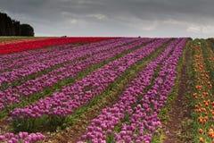Campos da tulipa no cabo da tabela Fotos de Stock Royalty Free