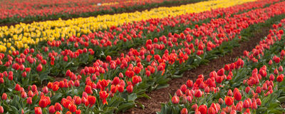 Campos da tulipa no cabo da tabela Fotografia de Stock