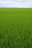 Um campo de almofada vasto e verde com céu e horizonte Fotos de Stock Royalty Free