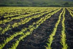 Um campo de colheitas verdes férteis imagens de stock royalty free