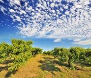 Um campo de exploração agrícola no console de Sauvie Fotos de Stock Royalty Free