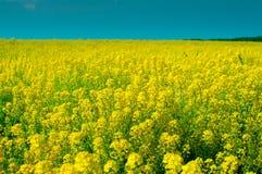 Um campo de flores amarelas brilhantes Imagens de Stock Royalty Free