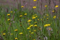 Um campo de flores do dente-de-le?o imagens de stock royalty free