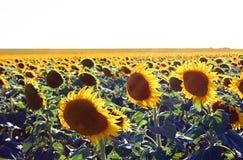 Um campo de flores do sol fotos de stock