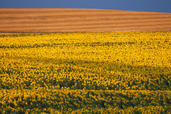 Um campo de girassóis amarelos. Fotografia de Stock Royalty Free