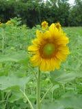Um campo de girassóis amarelos brilhantes sonhadores fotos de stock royalty free