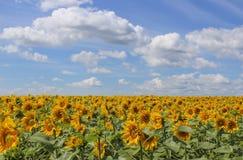 Um campo de girassóis de florescência Fotografia de Stock Royalty Free