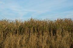 Um campo de hastes do milho imagem de stock