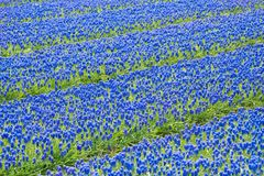 Um campo de hyacinths de uva comum azuis foto de stock royalty free