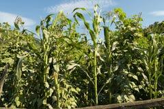 Um campo de milho Foto de Stock