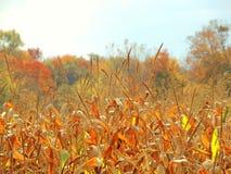 Um campo de milho da queda do país Foto de Stock