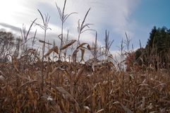 Um campo de milho escolhido sob um céu azul Fotos de Stock Royalty Free