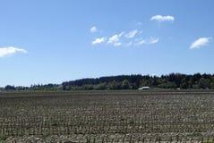 Um campo de milho na mola adiantada Imagens de Stock Royalty Free
