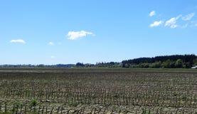 Um campo de milho na mola adiantada Fotos de Stock